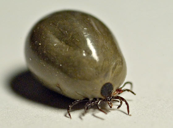 An engorged female Asian Longhorned tick with 2,000 eggs is able to reproduce with and without a mate.