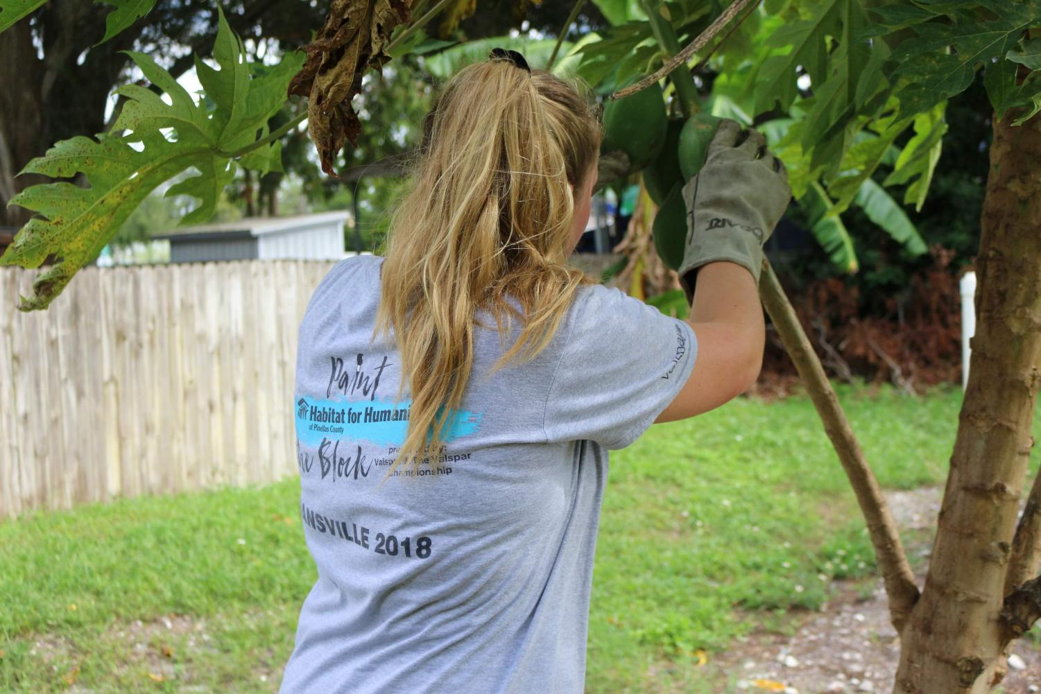 Erin+Behrmann+%28%2722%29+checks+to+see+if+the+papayas+are+ripe+enough+to+pick+off+of+the+tree.