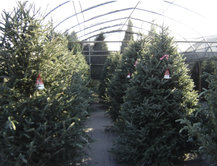 The variety of Christmas trees at Ergle Christmas Tree Farm.